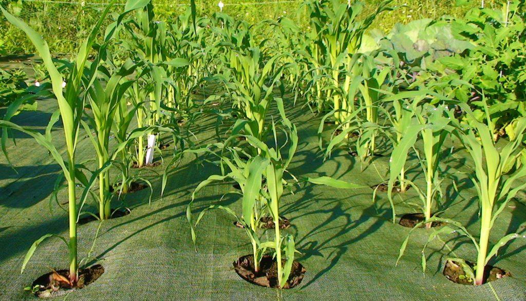 corn-5-1024x587-6403932-4809583
