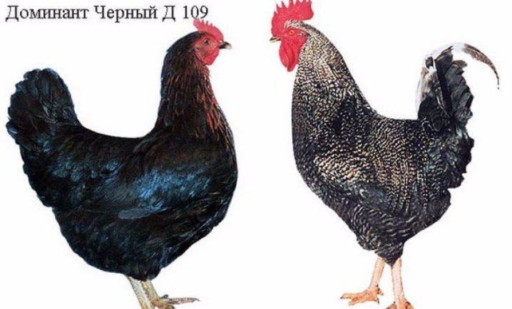 opisanie-i-tonkosti-soderzhaniya-kur-porody-dominant-19-5465017-8685586
