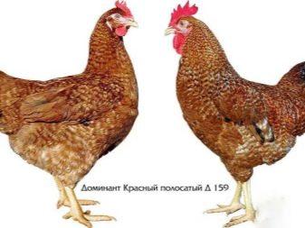 opisanie-i-tonkosti-soderzhaniya-kur-porody-dominant-21-4816510-6025458