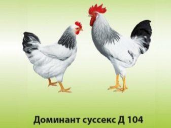 opisanie-i-tonkosti-soderzhaniya-kur-porody-dominant-23-4735056-7919396
