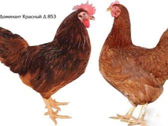 opisanie-i-tonkosti-soderzhaniya-kur-porody-dominant-24-6136969-5245225