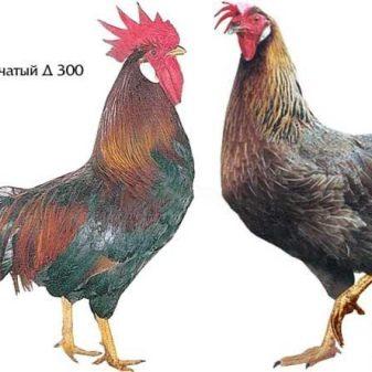 opisanie-i-tonkosti-soderzhaniya-kur-porody-dominant-25-3654654-1320383