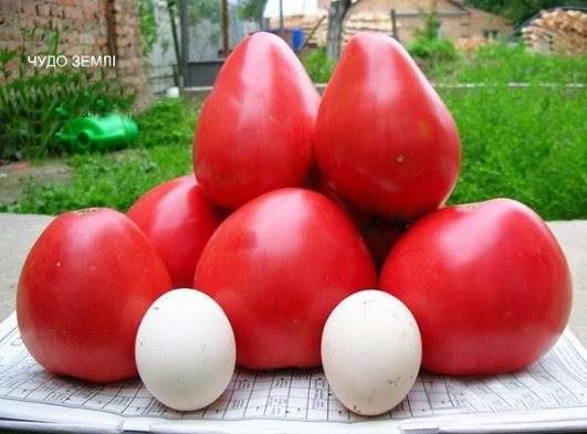 pomidory-sorta-chudo-zemli_0-8663958-7007261