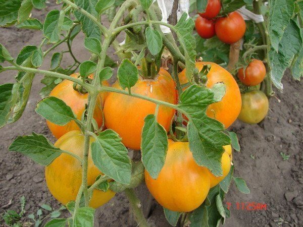 tomat_medovyj_spas_opisanie_sorta_c63e09dc-6504373-7776201